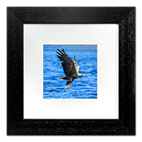 White Tailed Sea Eagle Framed Print ZB_12_5x5