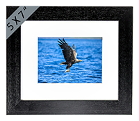 White Tailed Sea Eagle Framed Print ZB_12_5x7