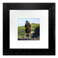 White Tailed Sea Eagle Framed Print ZB_19_5x5