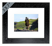 White Tailed Sea Eagle Framed Print ZB_19_5x7