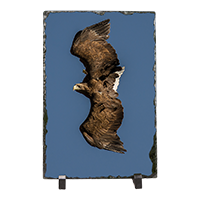 White Tailed Sea Eagle Slate FB_09_LS