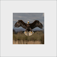 Bald Eagle Mounted Print  FB_10_MM