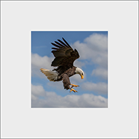 Bald Eagle Mounted Print  FB_11_MM