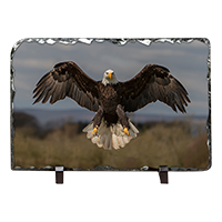 Bald Eagle Slate FB_10_LS