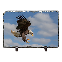 Bald Eagle Slate FB_11_LS
