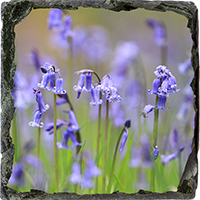 Blue Bells Medium Square Slate ZB_52_MSL