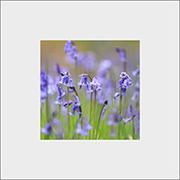 Blue Bells. Mounted Print  ZB_52_MM