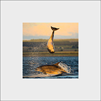 Bottle-nose Dolphins Mounted Print  ZB_05_MM