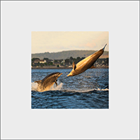 Bottlenose Dolphins Mounted Print  ZB_06_MM