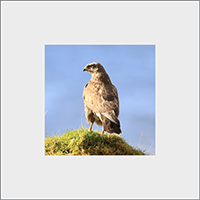 Buzzard Mounted Print ZB_38_MM
