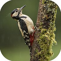 Greater Spotted Wood Pecker Coaster FB_01_SC
