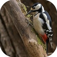 Greater Spotted Wood Pecker Coaster FB_07_SC
