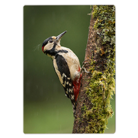 Greater Spotted Wood Pecker FB_01_CP