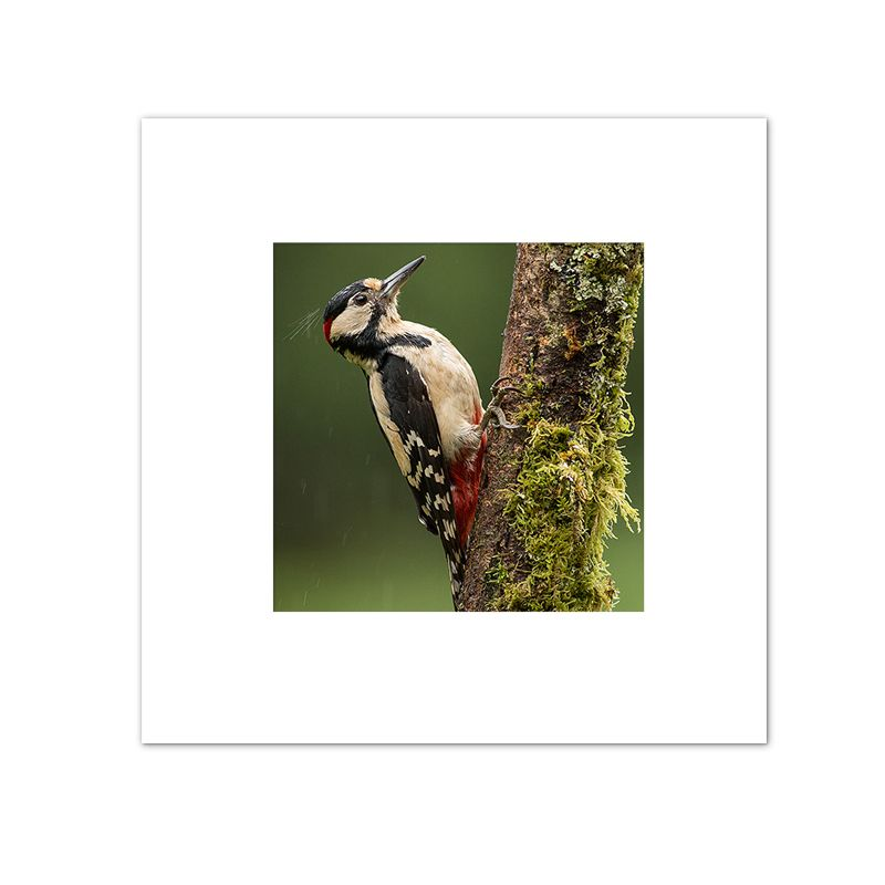 Greater Spotted Wood Pecker Mounted Print FB_01_MM
