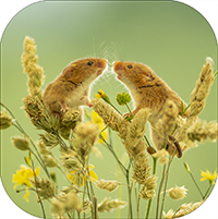 Harvest Mice Coaster  AJ_01_SC