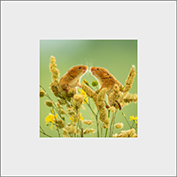Harvest Mouse Mounted Print  AJ_01_MM