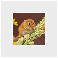 Harvest Mouse Mounted Print AJ_02_MM