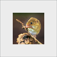 Harvest Mouse Mounted Print AJ_03_MM