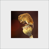 Harvest Mouse Mounted Print AJ_04_MM