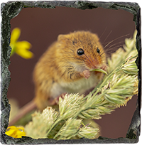 Harvest Mouse Slate Coaster AJ_02_SSC