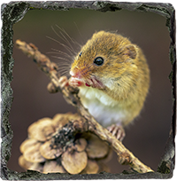 Harvest Mouse Slate Coaster AJ_03_SSC