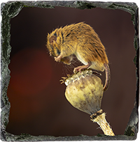 Harvest Mouse Slate Coaster AJ_04_SSC