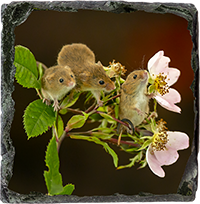 Harvest Mouse Slate Coaster AJ_05_SSC