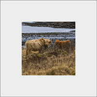 Highland Cattle Mounted Print ZB_44_MM