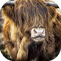 Highland Cow Coaster AS_30_SC
