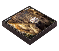 Highland Cow Framed Tile AS_30_FT