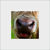 Highland Cow Mounted Print  AS_26_MM