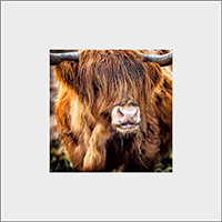 Highland Cow Mounted Print AS_30_MM
