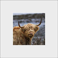 Highland Cow Mounted Print ZB_45_MM
