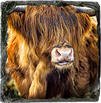 Highland Cow Slate Coaster AS_30_SSC