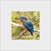 Kingfisher. Mounted Print  ZB_53_MM