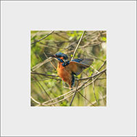 Kingfisher. Mounted Print  ZB_54_MM