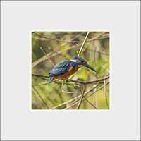 Kingfisher. Mounted Print  ZB_55_MM