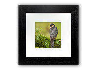 Male Sparrow Hawk Framed Print FB_02_5x5