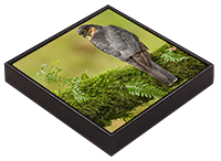 Male Sparrow Hawk Framed Tile FB_02_FT