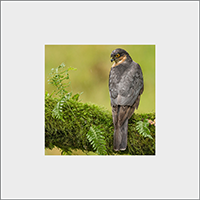 Male Sparrow Hawk Mounted Print  FB_02_MM