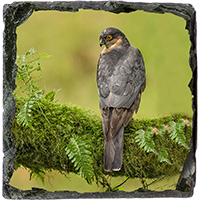 Male Sparrow Hawk Slate Coaster FB_02_SSC