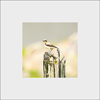 Northern Wheatear Mounted Print ZB_22_MM
