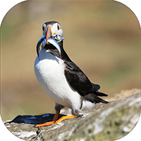 Puffin Coaster ZB_10_SC