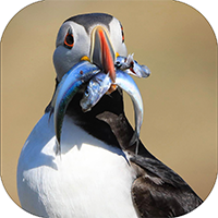 Puffin Coaster ZB_11_SC
