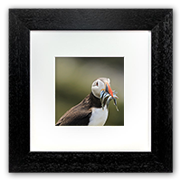 Puffin, Framed Print ZB_59_5x5
