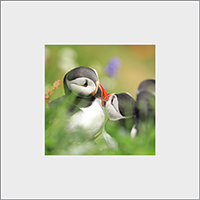Puffin Mounted Print ZB_07_MM