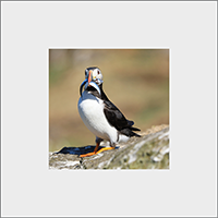Puffin Mounted Print ZB_10_MM