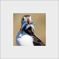 Puffin Mounted Print ZB_11_MM