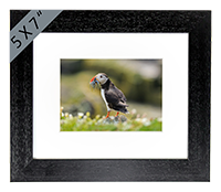 Puffin. Framed Print ZB_57_5x7