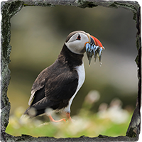 Puffin. Medium Square Slate ZB_56_MSL